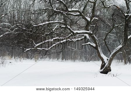 Crumpled and bended tree with thin twigs under snow on a winter day