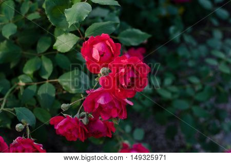 Bush of pink miniature rose in the flower garden green background and selective focus