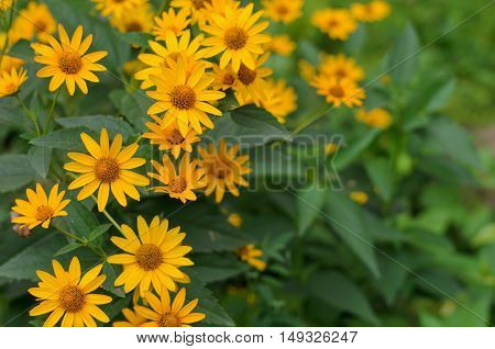 Green and yellow flowerbed of Heliopsis helianthoides yellow flowers