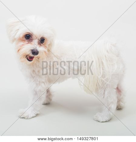 Portrait of cute female maltese on gray background.