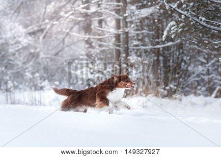 Dog Breed Australian Shepherd, Aussie,