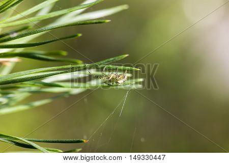 Паук плетет паутину в игла