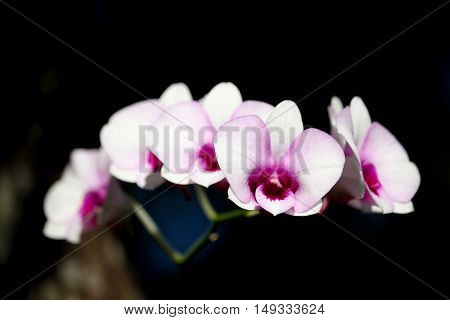 Close up White and soft Pink orchid flower