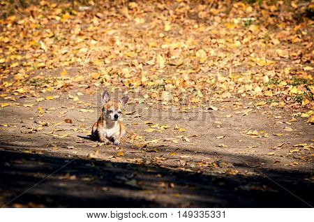 Chihuahua dog relaxing on a road lit by sun. Autumn yellow foliage fallen from the trees around. Red pet enjoys the warmth of sun half-closed its eyes in pleasure and feels calmness