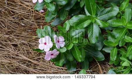 Madagascar Periwinkle pink flower in full bloom