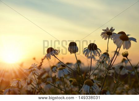 Field of marguerites at sunset