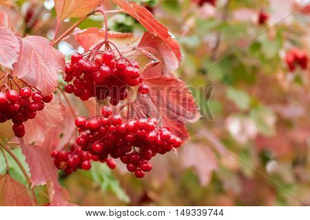 branch of red viburnum in the garden. Viburnum bush branch with red leaves and berries. Autumn. Photo with selective focus and copy space