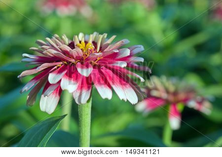 White And Red Hybrid Aster Flower In Bangkok Thailand