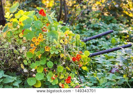 Flowerbed With Nasturtium (tropaeolum) Flowers