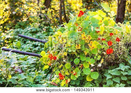 Flowerbed With Nasturtium Flowers In Garden