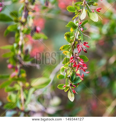 Twig With Ripe Fruits Of Red Berberis (barberry)