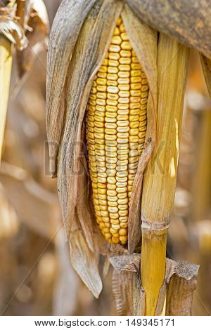 Corn Cob In The Field. Ear Of Corn In Autumn Before Harvest. Agriculture Concept.