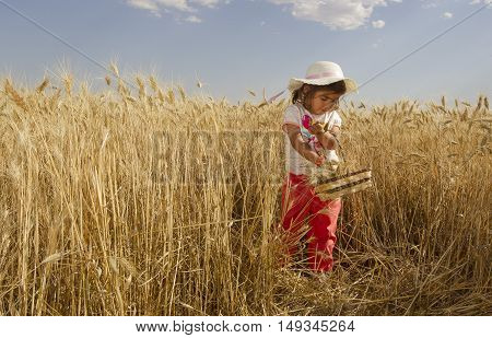 little girl collects spike in wheat field