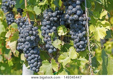 Grapes Hang From A Vine. Organic Grapes In Autumn. Vineyards On A Sunny Day In Autumn Harvest.