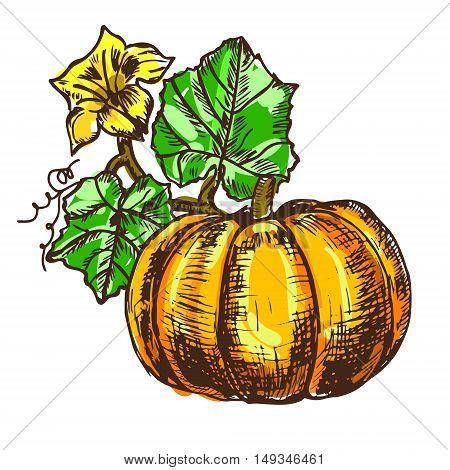 vector hand drawn sketch pumpkin leaves, flowers. detailed autumn harvest halloween illustration