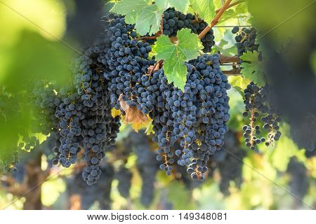 Saturated clusters of Napa Cabernet Sauvignon grapes hanging from vines. Bunches of Napa Valley ripe, red grapes on a sunny day.