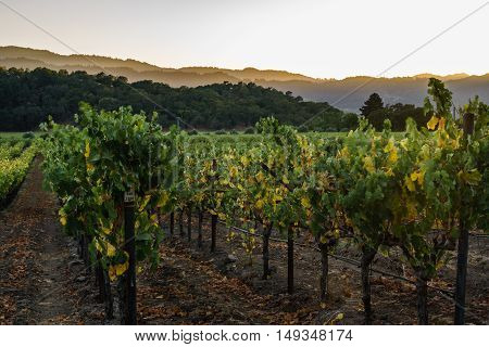 Sun setting on hills over Napa Valley vineyards in autumn. Golden light at sunset in Napa wine country. Fall colors at harvest time.