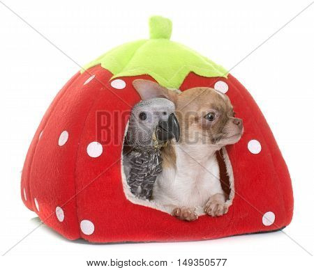 baby gray parrot and chihuahua in cushion in front of white background