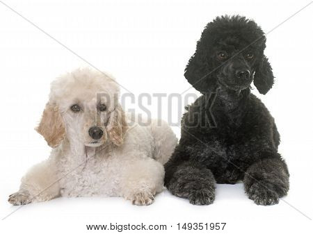two poodles in front of white background