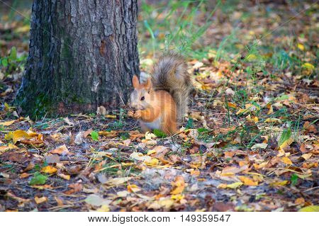 Red Squirrel in the forest eating a hazelnut.