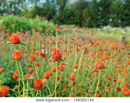 A field of cultivated Strawberry Fields Gomphrena flowers also known as Globe Amaranth with wildflowers and trees in the background.