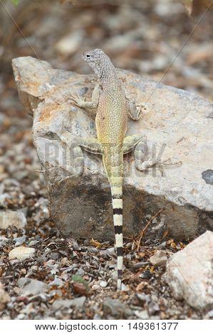 Zebra-tailed Lizard (Callisaurus draconoides) in New Mexico