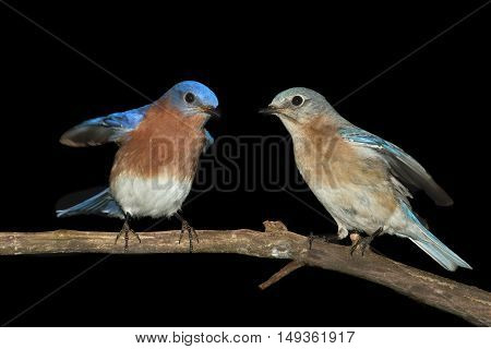 Eastern Bluebirds (Sialia sialis) on a perch with a black background