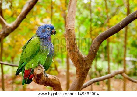Green and blue parrot inthe wild standing on a branch