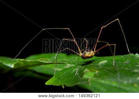 Giant long legged spider on green leaf close up macro shot