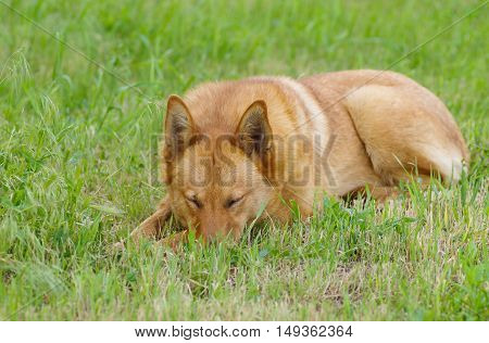 Young mixed breed dog sleeping in spring grass