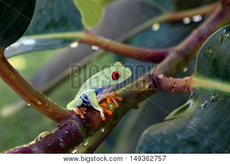Red eye tree frog sitting on leafy branch with rain drops.