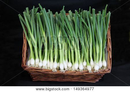 A Wicker Basket Display of Freshly Picked Spring Onions.