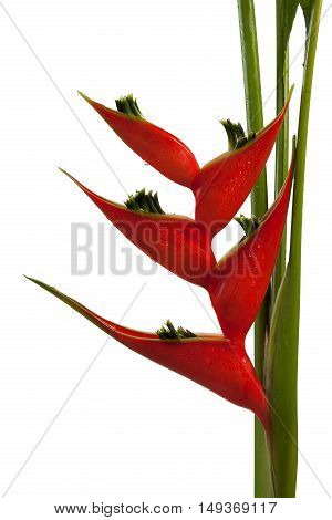 Heliconia Stricta Still Life On White Background