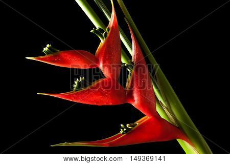 Heliconia Stricta Still Life On Black Background