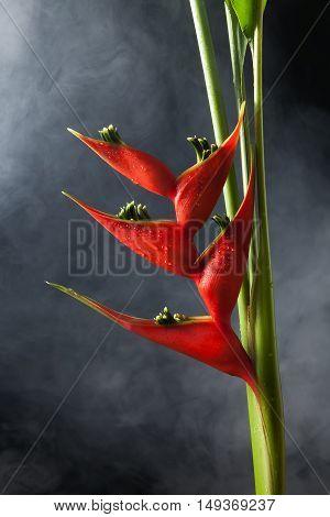 Heliconia Stricta Still Life Fog  Background