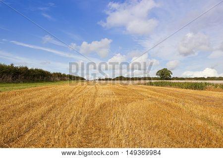 Golden Harvested Field