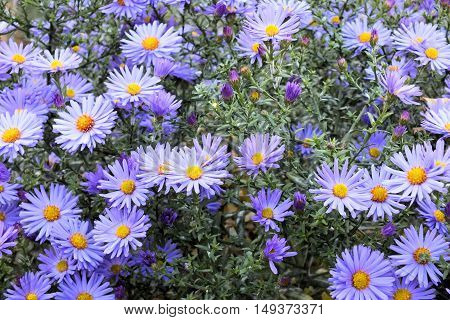 aster grows on a flowerbed in the city of Dnepropetrovsk