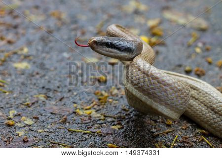 Rat Snake, Orthriophis Taeniurus Ridleyi