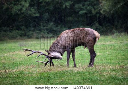 Italian deer full-length. male specimen with majestic horns in the head in the background the rain and the green of the forest.