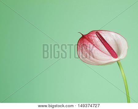 Pink anthurium flower on the green background