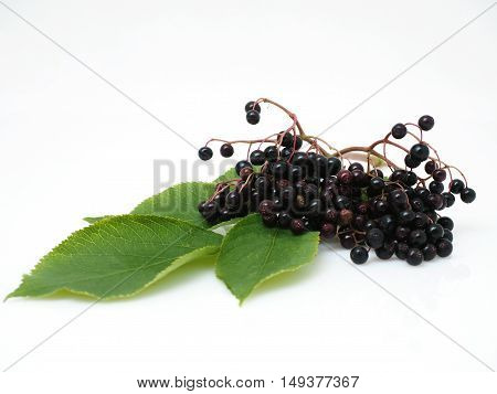 Sambucus nigra - Elderberry on the white background
