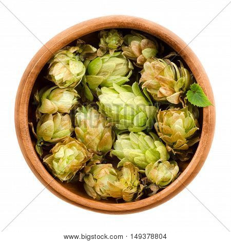 Hops in wooden bowl on white background. Half dried seed cones from the hop plant, Humulus lupulus, used as a flavoring and stability agent in beer and as a herbal medicine. Macro food photo close up.