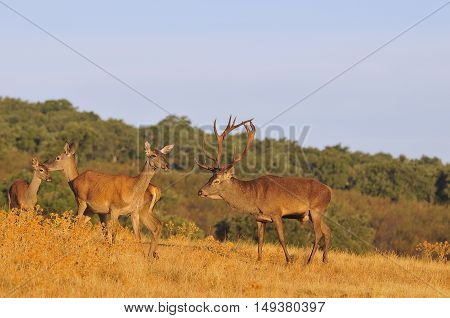 A Adult Red Deer Stag.