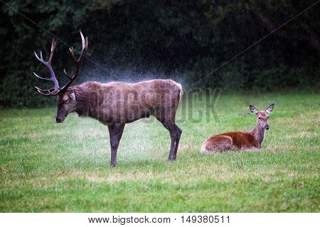 Adult deer squeezes the hair from the rain while a small deer remains crouched on the grass to rest.