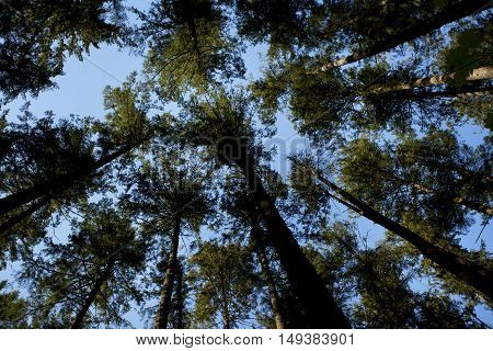 a picture of an exterior Pacific Northwest forest canopy of conifer trees