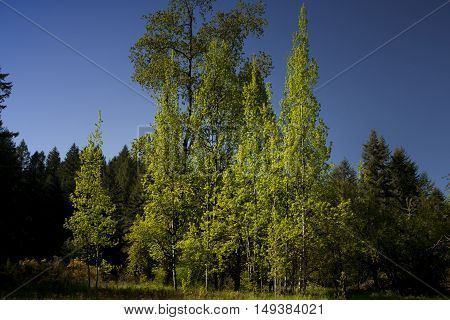 a picture of an exterior Pacific Northwest forest with a grove of Aspen trees in summer