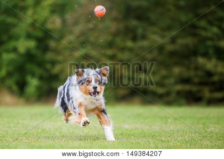 Dog Runs And Jumps For A Ball