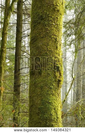 a picture of an exterior Pacific Northwest forest with a mossy Hemlock tree trunk