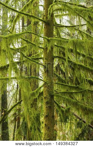 a picture of an exterior Pacific Northwest forest with a mossy Hemlock tree