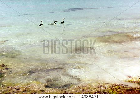 Cormorants swimming in crystal clear water near Playa Del Carmen, Mexico